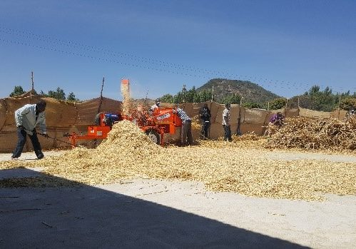 Chipping dried reeds for the production of briquettes for biofuel in Tanzania.