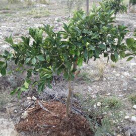 Olive farming wood chipper application